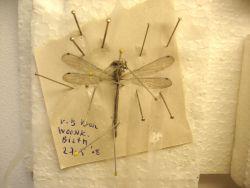 overleden insect, aangetroffen in vensterbank